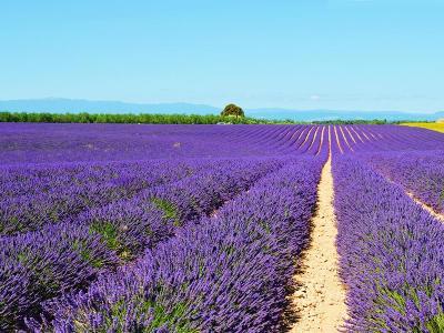 Lavander, Valensole, France / flickr Philip Haslett